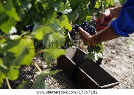 Vine harvest - stock photo