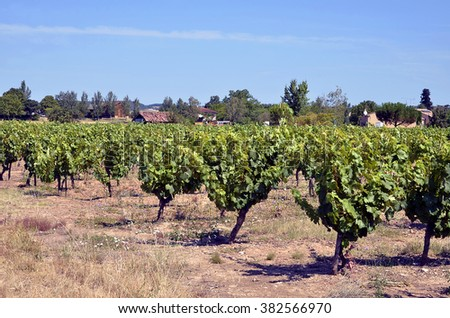 Vine in the Gaillac region in southern France. Midi-Pyrenees region, Tarn department - stock photo