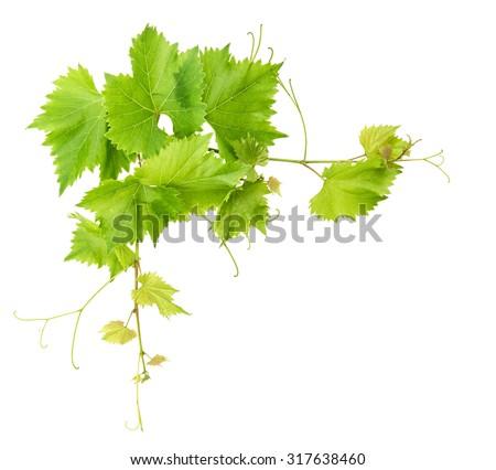 Vine leaves border isolated on white background. Green grape leaf - stock photo