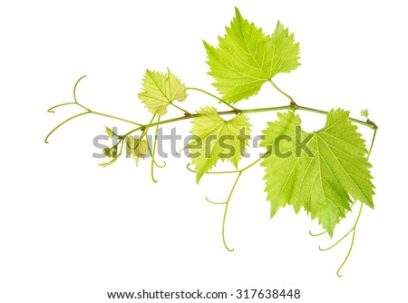 Vine leaves branch isolated on white background. Green grape leaf - stock photo