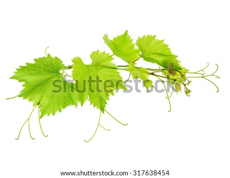 Vine leaves branch isolated on white background. Green leaf - stock photo