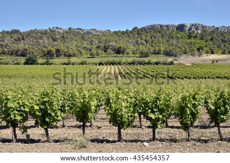Vine near of Narbonne in southern France in the Languedoc-Roussillon region
