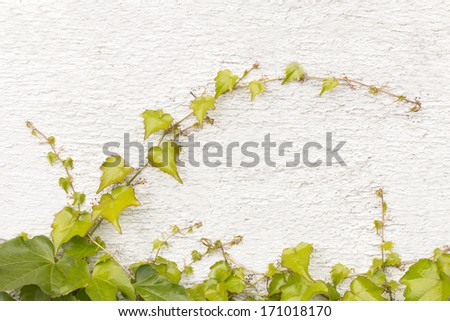 Vine plant growing on the house wall. - stock photo