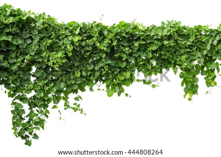 climbing plant stock images, royaltyfree images  vectors, Beautiful flower