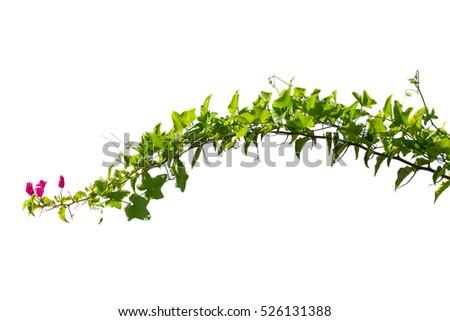 vine plant stock images, royaltyfree images  vectors  shutterstock, Beautiful flower