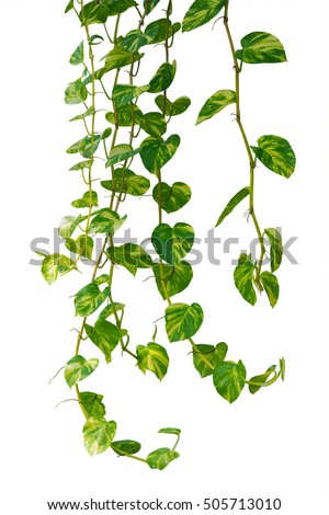 Vine plants isolated on white background stock photo download now vine plants isolated on white background clipping path mightylinksfo