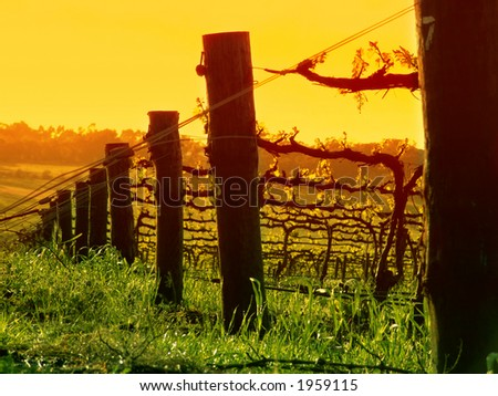 Vine Posts at Sunset - stock photo