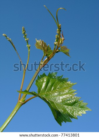 vine sprout with young grape clusters and tendrils