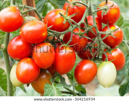 Vine tomatoes growing in the garden, home gardening. - stock photo