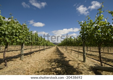 Vine trees stretching off into distance