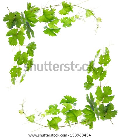 Vine with green leaves. isolate - stock photo
