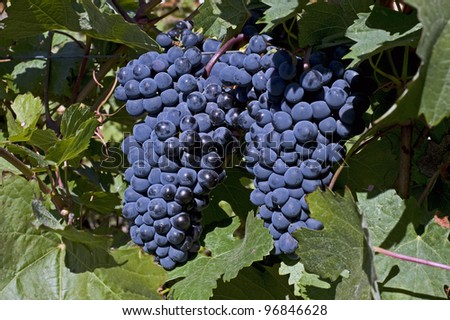Vinegrapes in Okanagan