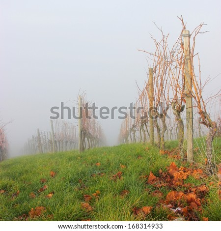 Vines and fog in autumn vineyard
