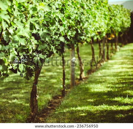 vines and grapes in the south - stock photo