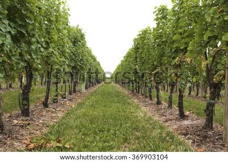 Vineyard - stock photo