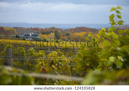 Vineyard and grapevines with fall colors - stock photo