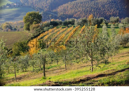 vineyard and olives tree landscape in Tuscany, Italy