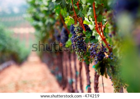 Vineyard and rows.Extreme shallow depth of focus for romantic softness. - stock photo