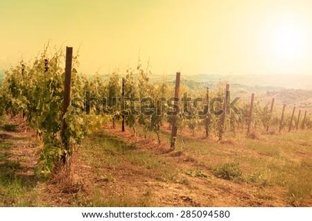 Vineyard at sunset - stock photo