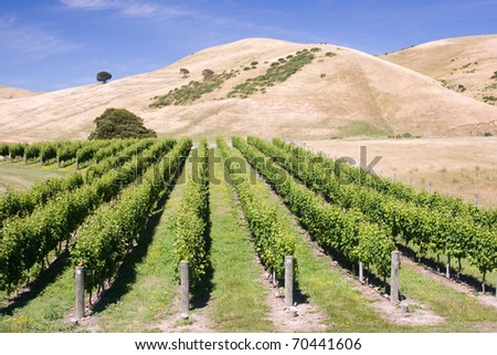 Vineyard at  the bottom of the hill - stock photo