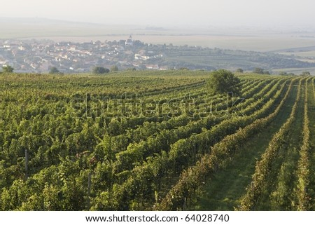 Vineyard before the harvest,  Czech Republic. - stock photo