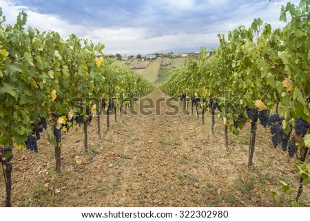 Vineyard. Blue sky with clouds background - stock photo