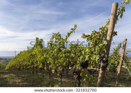 Vineyard. Blue sky with white clouds background - stock photo