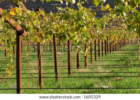 Vineyard, Cape town area, South Africa - stock photo