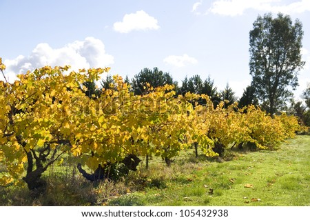 Vineyard during Autumn in the Barossa Valley, South Australia - stock photo