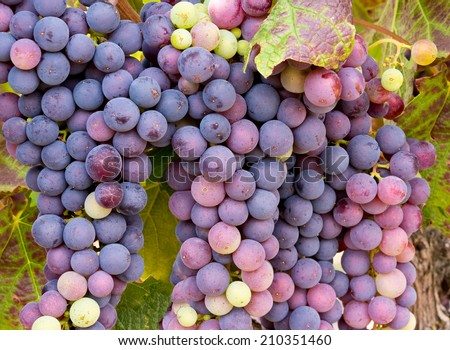 Vineyard Grape Clusters Ready for Wine Making - stock photo