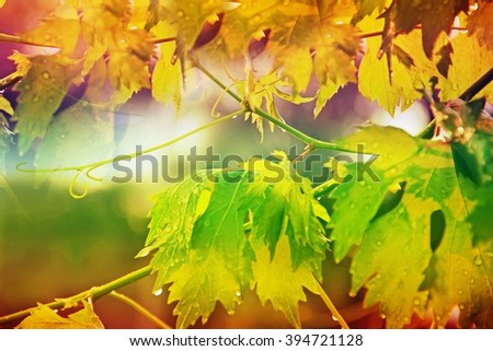 vineyard, grape leaves and vines at sunset, very soft focus - stock photo