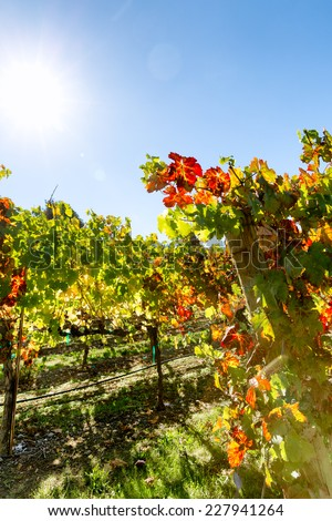 Vineyard grape leaves with autumn color. Back lit with sun flare. Copy space - stock photo