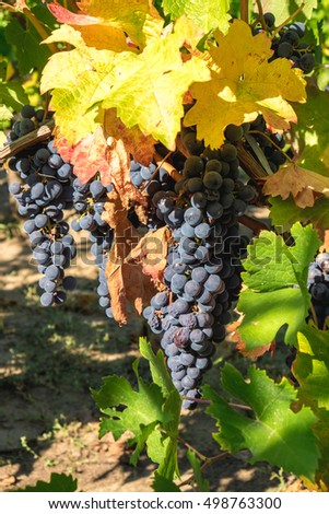 Vineyard grapes hanging in late harvesting season with middle autumn colors