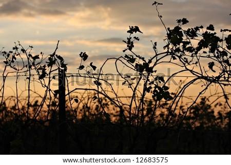Vineyard in Australia's Hunter Valley - stock photo