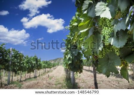 vineyard in Crimea (Ukraine) near mountains (polarizer filter) - stock photo