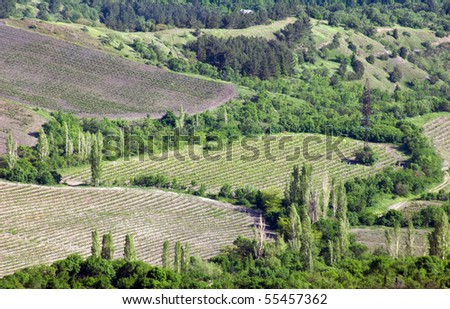 Vineyard in Crimean mountains valley
