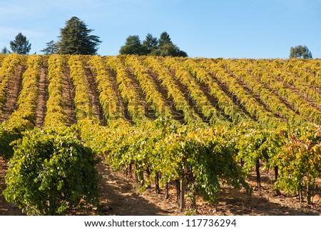 Vineyard in Fall, Sonoma County, California, USA - stock photo