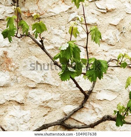 Vineyard in france - stock photo