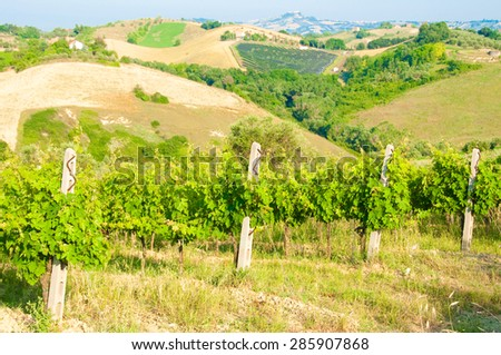 Vineyard in italian countryside