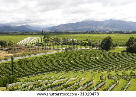 vineyard in New Zealand with rows of sauvignon and pinot noir - stock photo