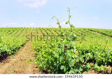 Vineyard in Portugal, Alentejo - stock photo
