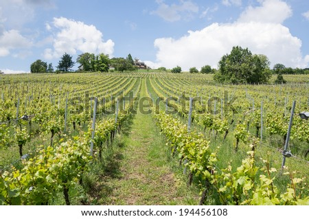 vineyard in Ribeauville, Alsace, France