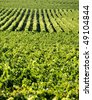 Vineyard in Saint Emilion in France - stock photo