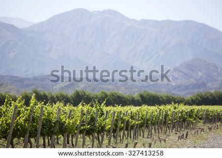 Vineyard in San Juan, in the North of Argentina. San Juan Province. - stock photo