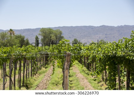 Vineyard in San Juan with mountains in the background. North of Argentina in San Juan Province. - stock photo