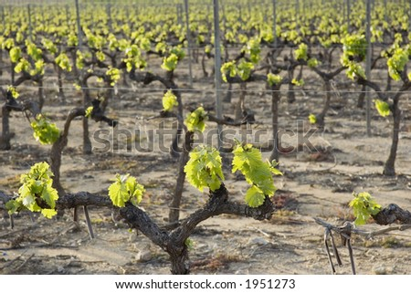 vineyard in spring - french riviera, mediterranean sea