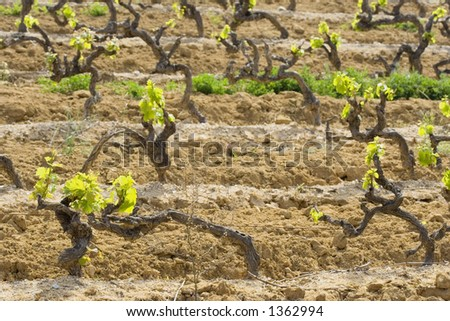 vineyard in spring - French Riviera, shallow DoF