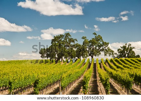 Vineyard in spring, Sonoma County, California, USA - stock photo