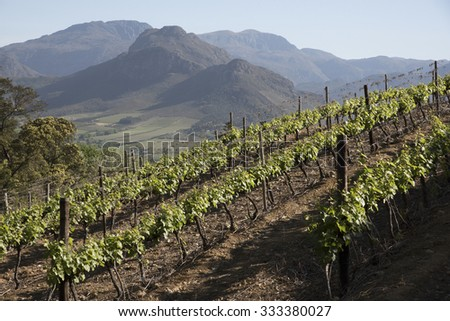 Vineyard in springtime above Franschhoek in the Western Cape region South Africa