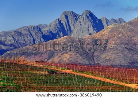 Vineyard in Stellenbosch, South Africa - stock photo